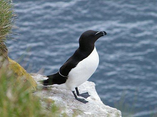 un pingouin ou un manchot penguin 39 s life. Black Bedroom Furniture Sets. Home Design Ideas