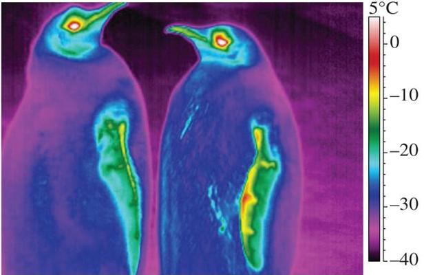 Thermographie de pingouins